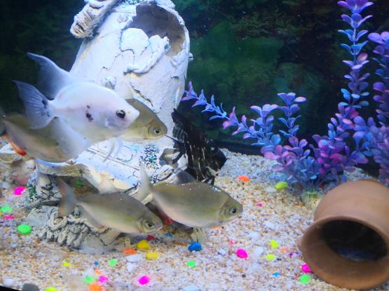 FISH/ silverdollar and Anglefish