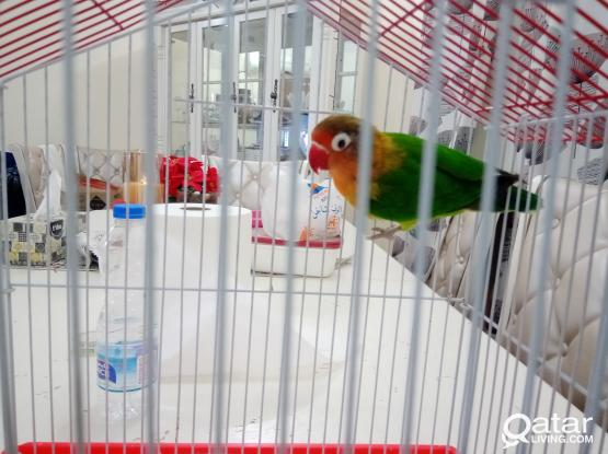 love bird male with cage